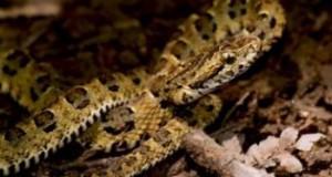 Nueva serpiente venenosa encontrada en Perú