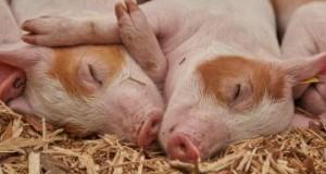 Científicos logran revivir células en cerebros de cerdos muertos